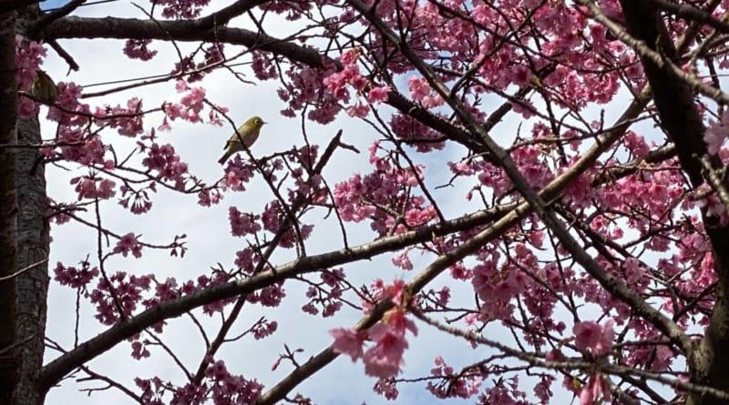 屋久島緋寒桜